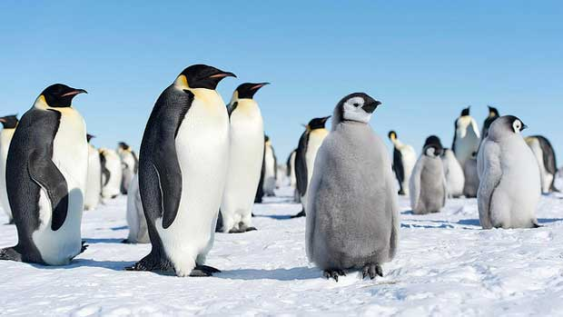 """""""Emperor Penguins"""" by Christopher Michel licensed under CC BY 2.0"""