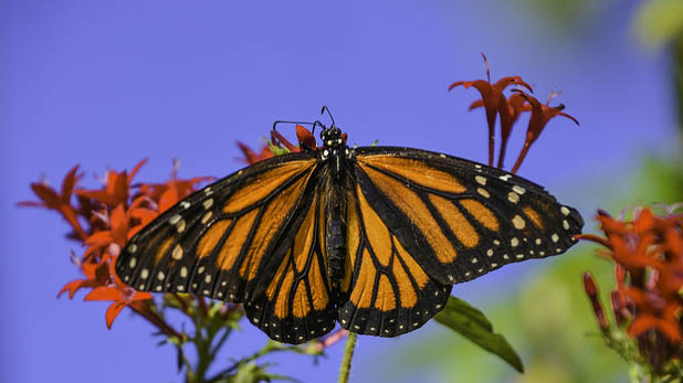 """""""Monarch Butterfly"""" by C. P. Ewing licensed under CC BY 2.0"""