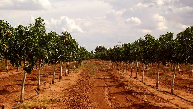 """""""pistachio orchard"""" by jo_beets licensed under CC BY 2.0"""