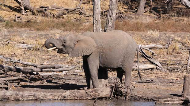 """African Elephant, Loxodonta africana in Mapungubwe"" by Derek Keats licensed under CC BY 2.0"