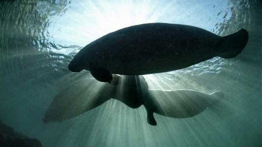 """Manatees"" by U.S. Fish and Wildlife Service Headquarters licensed under CC BY 2.0"