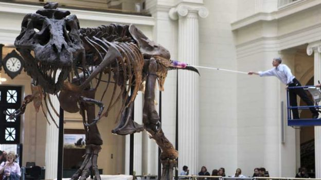 FILE - In this May, 12, 2010 file photo, Bill Simpson, collections manager of fossil vertebrates at Chicago's Field Museum, reaches over to dust the Tyrannosaurus rex skeleton known as Sue on display at museum. The museum will soon be moving Sue to her own gallery as the museum's great hall becomes home to a touchable cast of the biggest dinosaur ever discovered, Patagotitan mayorum , a giant, long-necked herbivore from Argentina. It's part of a group of dinosaurs called titanosaurs. (AP Photo/Kiichiro Sato, File)