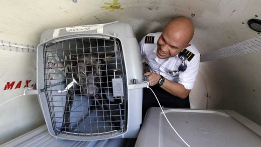 Wings of Rescue co-pilot Jose G. Martinez reaches for one of the last of of a load of 35 dogs from Texas shelters flown to make space for companion animals rescued in the Hurricane Harvey aftermath, Wednesday, Aug. 30, 2017, in Seattle. The dogs arriving in Seattle were already in Texas shelters when Harvey hit and are being transferred to Seattle-area shelters so animals displaced from the flooding can be cared for in Texas until they can be reunited with their families there. The rescue transfer is a collaboration between Humane Society of the United States, Wings of Rescue, the Progressive Animal Welfare Society (PAWS) and other Seattle-area shelters. (AP Photo/Elaine Thompson)