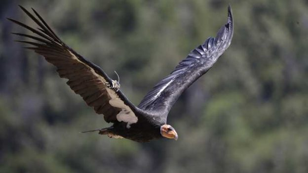 In this Wednesday, June 21, 2017 photo, a California condor takes flight in the Ventana Wilderness east of Big Sur, Calif. Three decades after being pushed to the brink of extinction, the California condor is staging an impressive comeback, thanks to captive-breeding programs and reduced use of lead ammunition near their feeding grounds.  (AP Photo/Marcio Jose Sanchez)