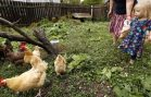 Backyard Chicken Trend Leads to More Disease Infections
