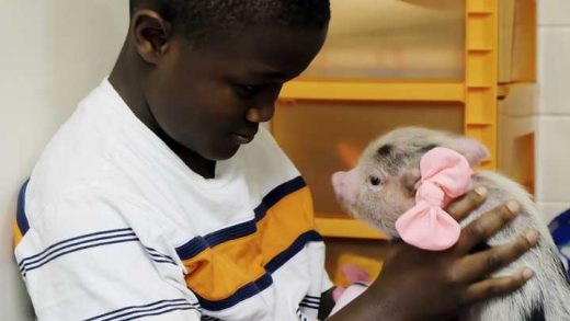Isaac Gbalea holds a therapy pig, Frankie, wile reading at Franklin Elementary on Nov. 15, 2017 in Muscatine, Iowa. The elementary school in eastern Iowa is using a therapy pig to help special education students manage emotions and focus on learning. The Muscatine Journal reports that Frankie the pig serves as a calming mechanism. (Zachary Oren Smith/Muscatine Journal via AP)