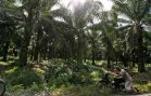 Greenpeace Says Brands Refusing to Reveal Palm Oil Sources