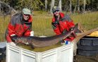Lake Champlain Sturgeon Improving; Group Seeks US Protection