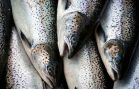 Conservation Groups' Pact Will Help Save Atlantic Salmon