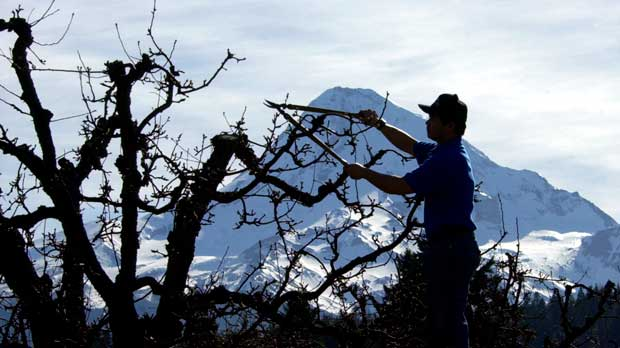 "FILE - In this March 11, 2005, file photo, Oregon's Mount Hood looms in the background as a budding pear tree is pruned in Parkdale, Ore. Farmers will be allowed to let farmworkers and their families ""shelter in place"" in their on-site housing when aerial pesticides are being sprayed after objections from some growers that newly updated rules were too intrusive, a newspaper reported Tuesday, July 3, 2018. (AP Photo/Don Ryan, File)"