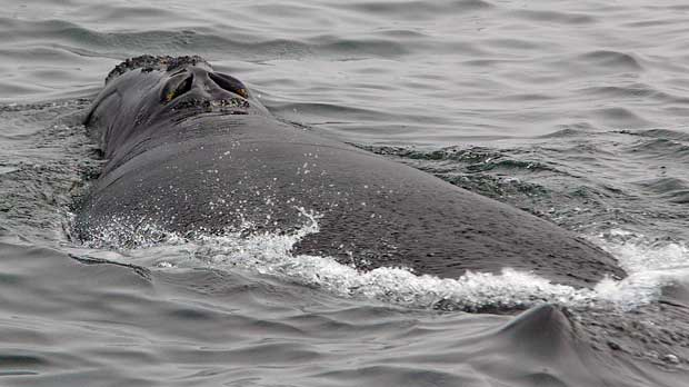 Right Whales Blowhole Data