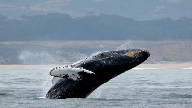 FILE - In this Monday, Aug. 7, 2017, file photo, a humpback whale breeches off Half Moon Bay, Calif. In a settlement with environmental groups, the Trump administration has agreed to designate critical Pacific Ocean habitat for endangered humpback whales. The suit by the Center for Biological Diversity, Turtle Island Restoration Network and Wishtoyo Foundation, a nonprofit that represents Native American tribes, was settled Friday, Aug. 24, 2018, in federal district court in San Francisco. (AP Photo/Eric Risberg,File)