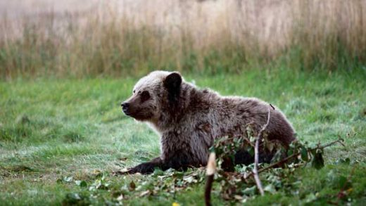 Hunting Grizzlies Endangered Species Act