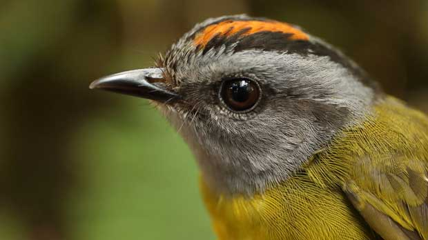 Mountaintop Bird Extinction