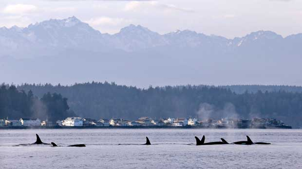 FILE - In this Jan. 18, 2014, file photo, endangered orcas swim in Puget Sound and in view of the Olympic Mountains just west of Seattle as seen from a federal research vessel that has been tracking the whales. Two conservation groups say the federal government is violating the Endangered Species Act by failing to consider how salmon fishing off the West Coast is affecting endangered killer whales. (AP Photo/Elaine Thompson, File)
