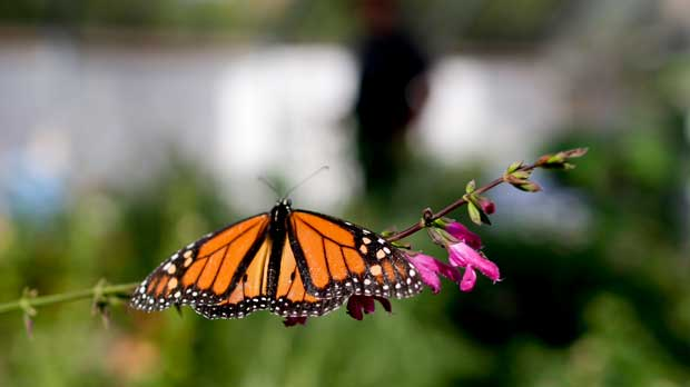"""FILE- In this Aug. 19, 2015 photo, Tom Merriman stands behind a monarch in his butterfly atrium at his nursery in Vista, Calif. Researchers with an environmental group are labeling as """"disturbingly low"""" the number of western monarch butterflies that migrate along the California coast. A recent count by the Xerces Society recorded fewer than 30,000 butterflies, which it says is an 86 percent decline since 2017. (AP Photo/Gregory Bull, File)"""