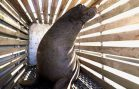 Oregon Begins Killing Sea Lions After Relocation Fails