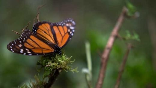 FILE - In this Nov. 12, 2015 file photo, an ailing butterfly rests on a plant at the monarch butterfly reserve in Piedra Herrada, Mexico State, Mexico. Millions of monarchs migrate from the United States and Canada each year to pine and fir forests to the west of the Mexican capital. (AP Photo/Rebecca Blackwell, File)