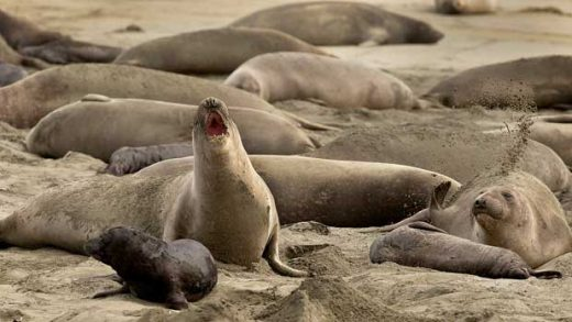 Elephant Seal Beach Takeover