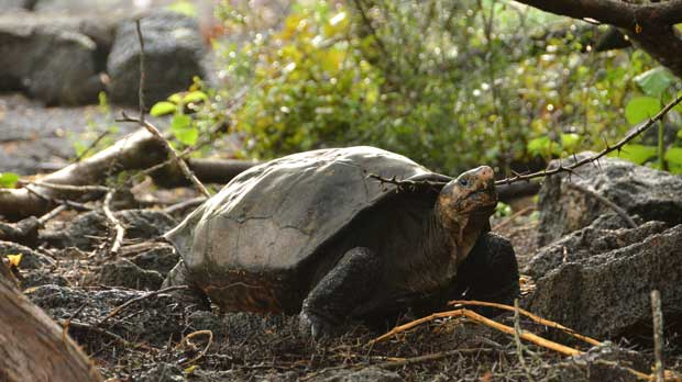 This photo released by the Galapagos National Park shows a Chelonoidis phantasticus tortoise at the Galapagos National Park in Santa Cruz Island, Galapagos Islands, Ecuador, Wednesday, Feb. 20, 2019. Park rangers and the Galapagos Conservancy found the tortoise, a species that was thought to have become extinct one hundred years ago. (Galapagos National Park via AP)