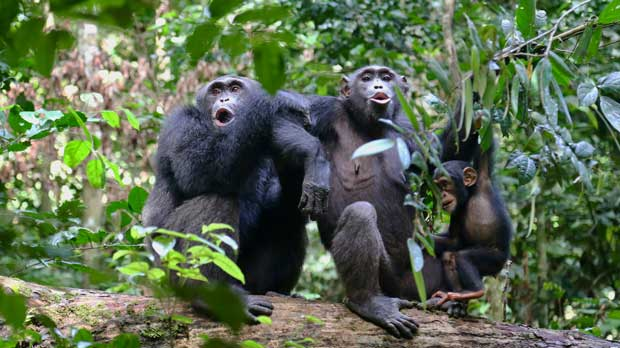 In this undated photo provided by Liran Samuni, chimpanzees in the Taï National Park in the Ivory Coast vocalize with another group nearby. A study released on Thursday, March 6, 2019 highlights the diversity of chimp behaviors within groups _ traditions that are at least in part learned socially, and transmitted from generation to generation. (Liran Samuni/Taï Chimpanzee Project via AP)