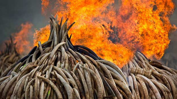 FILE - In this Monday, Sept. 4, 2017 file photo, pyres of ivory are set on fire in Nairobi National Park, Kenya. Kenya's president Saturday set fire to 105 tons of elephant ivory and more than 1 ton of rhino horn, believed to be the largest stockpile ever destroyed, in a dramatic statement against the trade in ivory and products from endangered species. According to a scientific report from the United Nations released on Wednesday, March 13, 2019, climate change, a global major extinction of animals and plants, a human population soaring toward 10 billion, degraded land, polluted air, and plastics, pesticides and hormone-changing chemicals in the water are making the planet an increasing unhealthy place for people. (AP Photo/Ben Curtis)