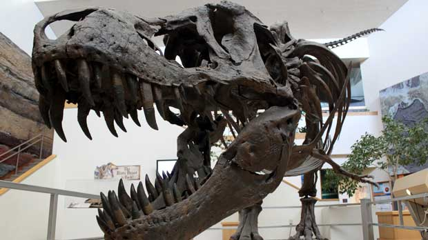 FILE - This Tuesday, Aug. 15, 2017 file photo shows a model of a Tyrannosaurus rex on display in the New Mexico Museum of Natural History and Science in Albuquerque, N.M. New research released on Friday, March 29, 2019 captures a fossilized snapshot of the day nearly 66 million years ago when an asteroid hit the Earth, fire rained from the sky and the ground shook far worse than any modern earthquake. It was the day that nearly all life on Earth went extinct, including the dinosaurs. (AP Photo/Susan Montoya Bryan)
