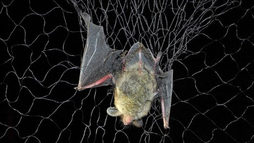 File-This photo taken July 7, 2016, shows a bat. Minnesota researchers are now netting and tracking bats in the hopes of fending off the effects of white-nose syndrome, a lethal disease killing populations by the millions. (Bob Timmons/Star Tribune via AP)