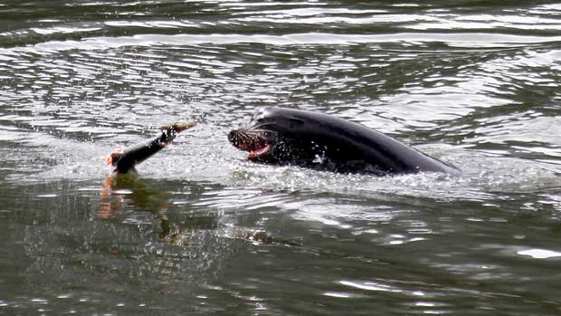 Killing Sea Lions Salmon