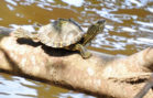 Lawsuit Filed to Protect Turtles in Mississippi, Louisiana