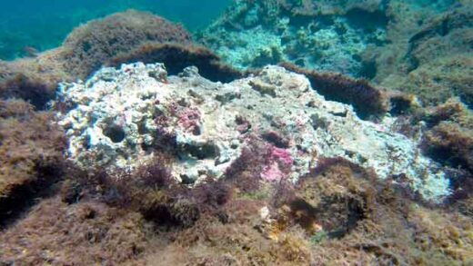 a new species of seaweed covers dead coral on a reef