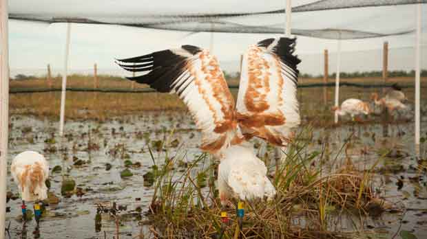 a few young endangered whooping cranes
