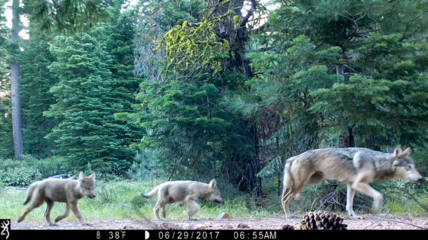 female gray wolf and two pups