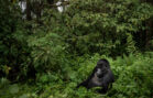 A Crowded Mountain Can Make Silverback Gorillas More Violent