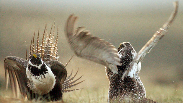 male sage grouses fight