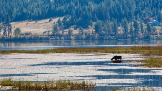 a moose cools off in the Chain Lakes