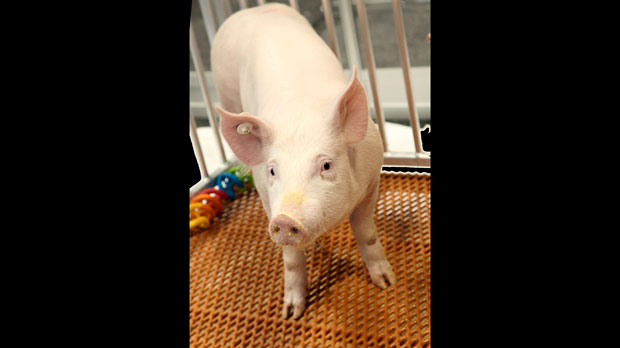 genetically modified pig