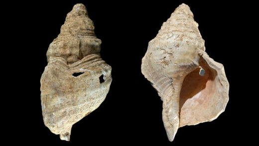 shell discovered in a French cave with prehistoric wall paintings in 1931vvvvvvvvvvvvvvvvvvvvvv