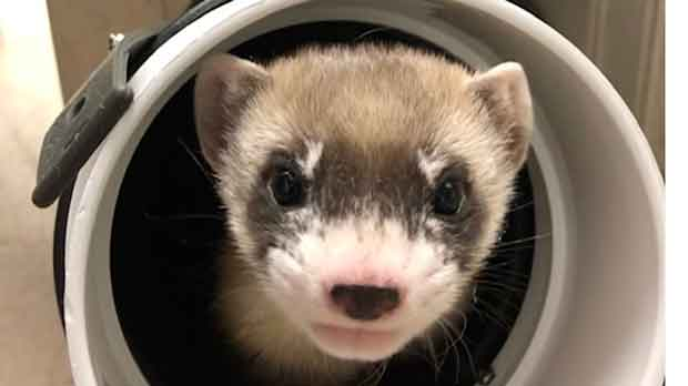 first cloned black-footed ferret