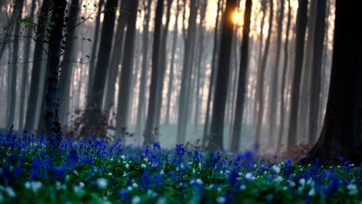 The sun rises between the trees as bluebells