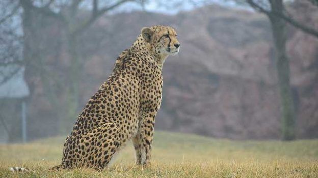 """Cheetah"" by Michael Shehan Obeysekera licensed under CC BY 2.0"