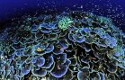 Coral Transplants Give Hope to Dying Reefs