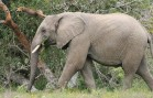 A Proposal to Lift the Ban on Elephant and Ivory Trade