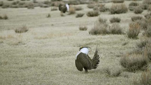 """Male Greater Sage-Grouse"" by Pacific Southwest Region USFWS licensed under CC BY 2.0"