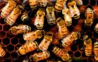 Pesticides Contributing to Damage of Honeybee Colonies
