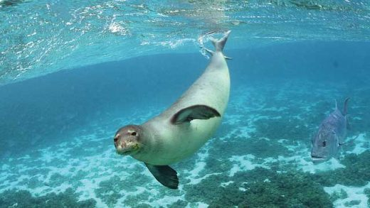 """Monk Seal"" by U.S. Fish and Wildlife Service Headquarters licensed under CC BY 2.0"