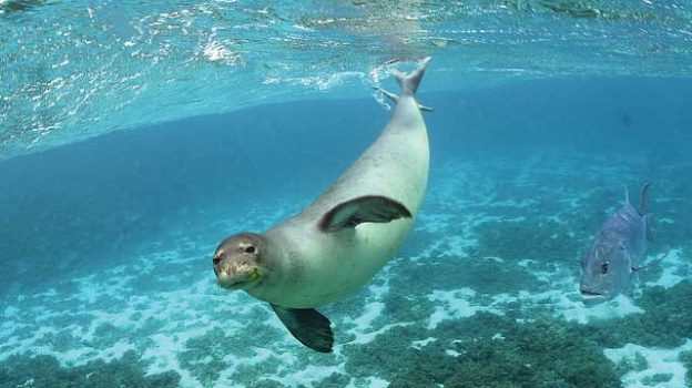"""""""Monk Seal"""" by U.S. Fish and Wildlife Service Headquarters licensed under CC BY 2.0"""