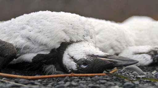 FILE - In this Jan. 7, 2016, file photo, shows dead common murres on a rocky beach in Whittier, Alaska. A year after tens of thousands of common murres, an abundant North Pacific seabird, starved and washed ashore on beaches from California to Alaska, researchers have pinned the cause to unusually warm ocean temperatures that affected the tiny fish they eat. (AP Photo/Mark Thiessen, File)
