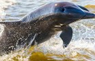 Researchers from U.S. & Mexico Partner to Save Endangered Porpoise