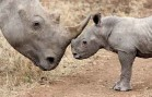 SF Startup Develops Controversial Method to Save World's Rhinos